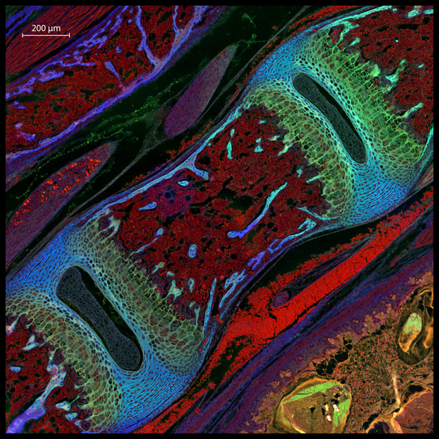 Entry_24523_Mouse-Vertebra-Large-Stitched-Extended-DOF-fluorescence-border-with-scale