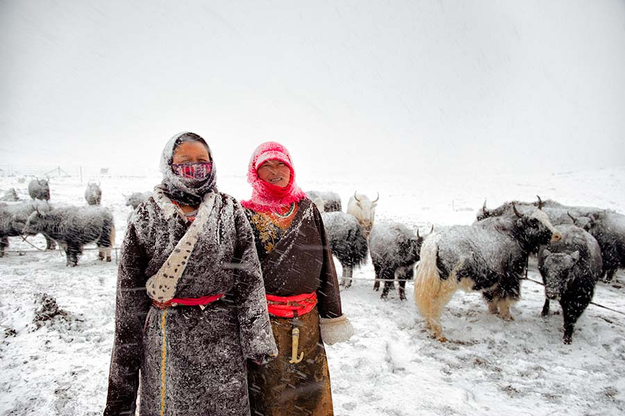 Tibetan nomads herding yaks at 4400mts high in the Tibetan plateau