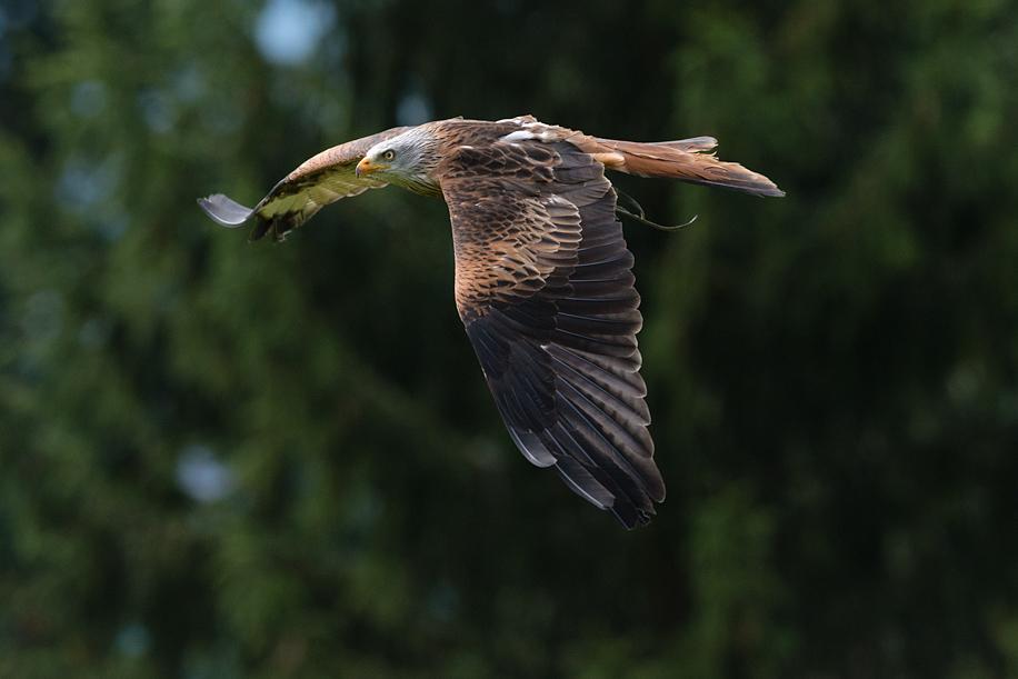 Birds in flight with the Nikon D800 2
