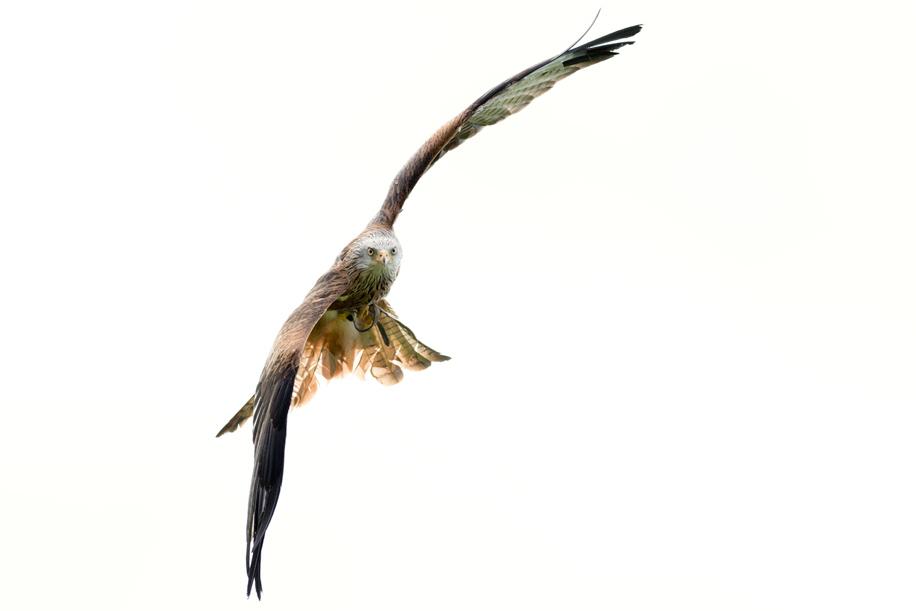 Birds in flight with the Nikon D800 6