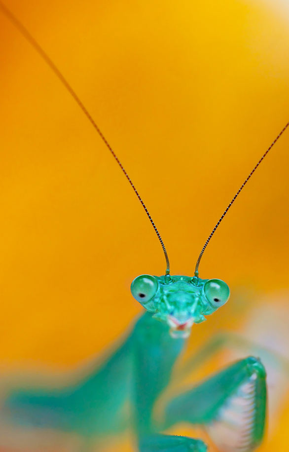 04-Preying-Mantis