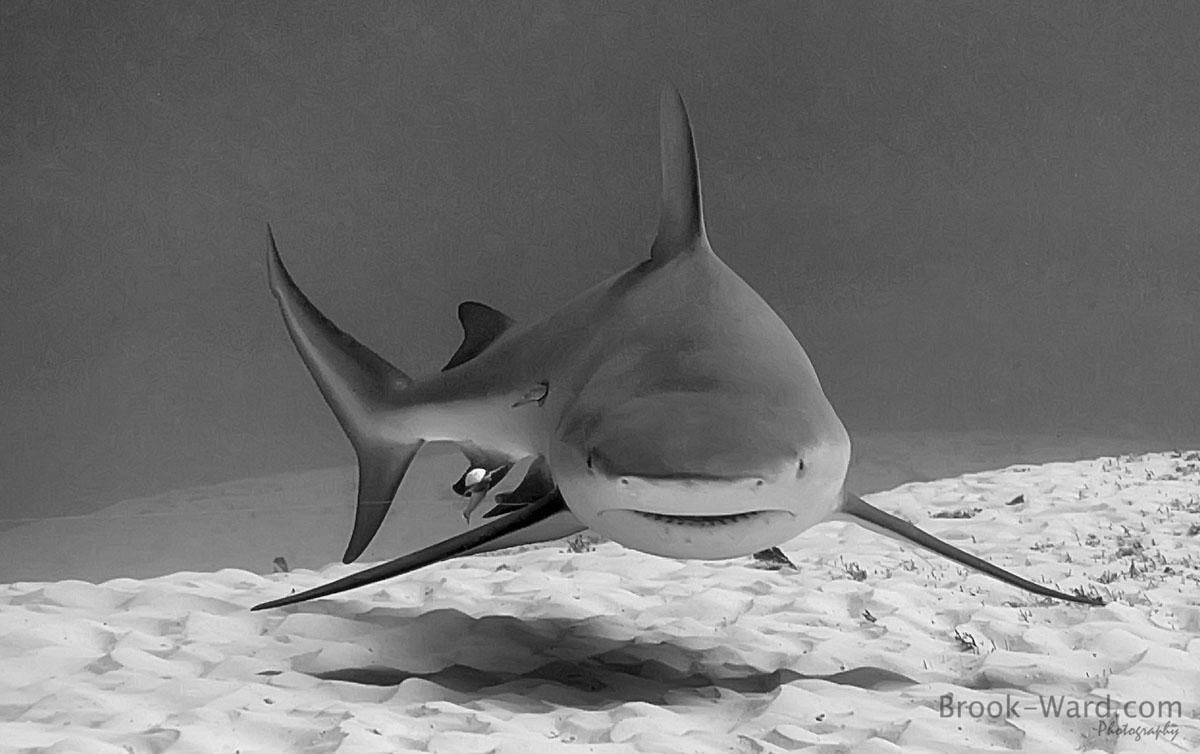 1 Bull Shark