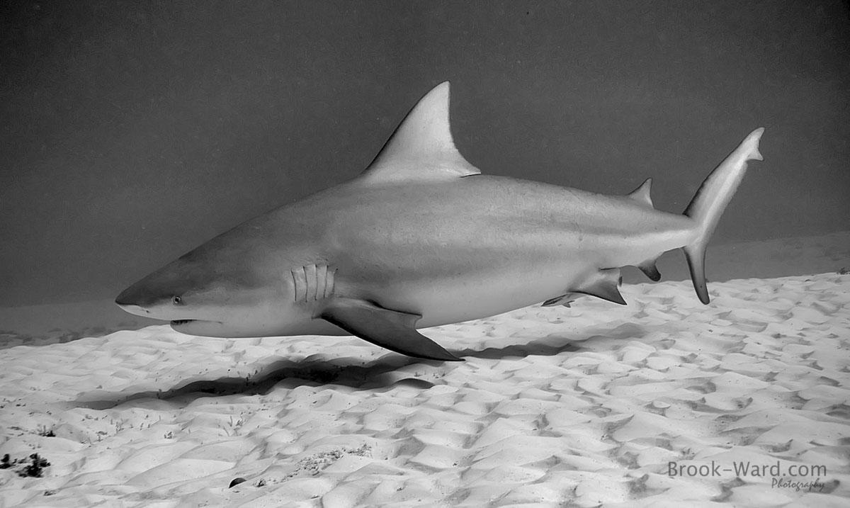 4 Bull Shark