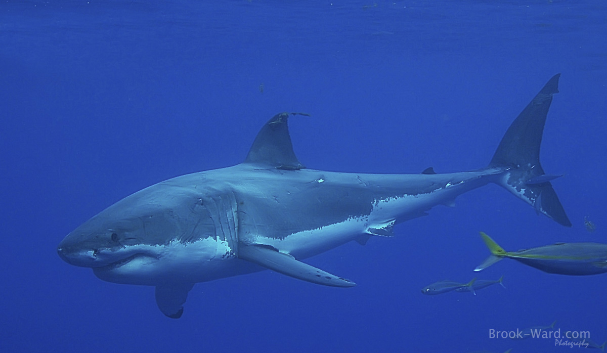 5 Great White Shark