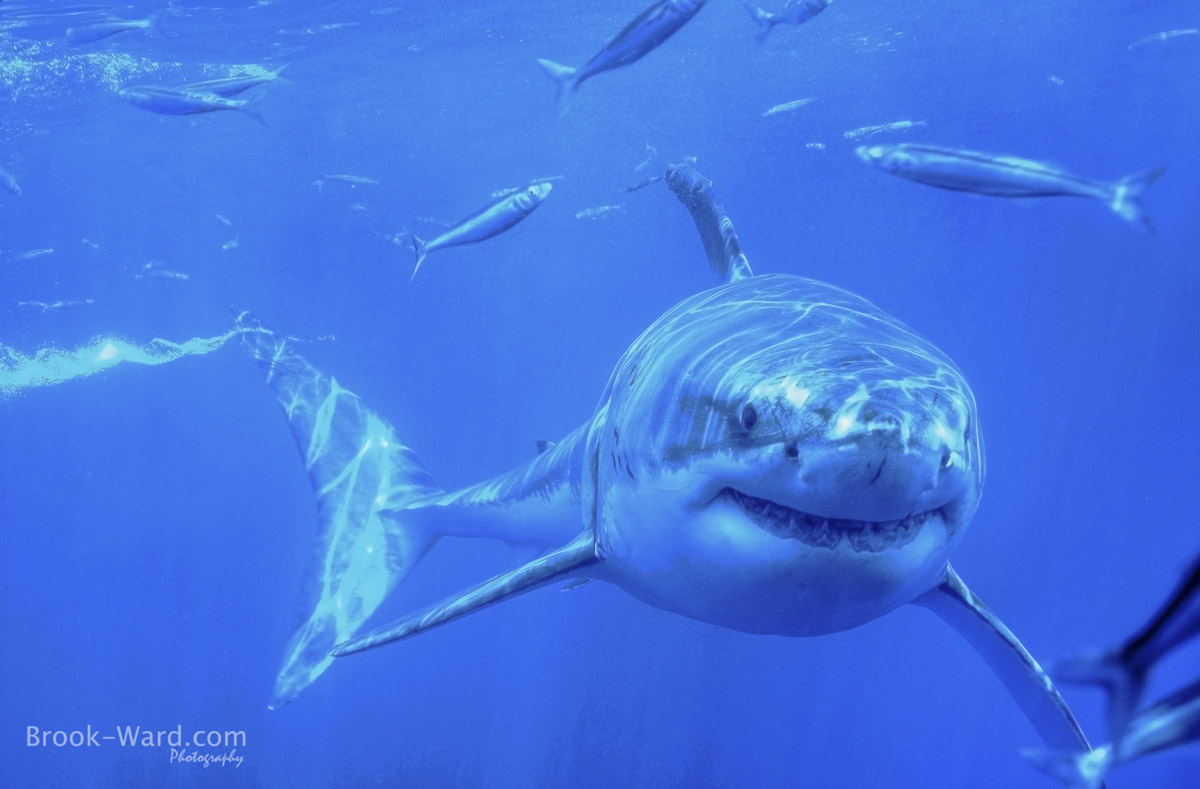 6 Great White Shark