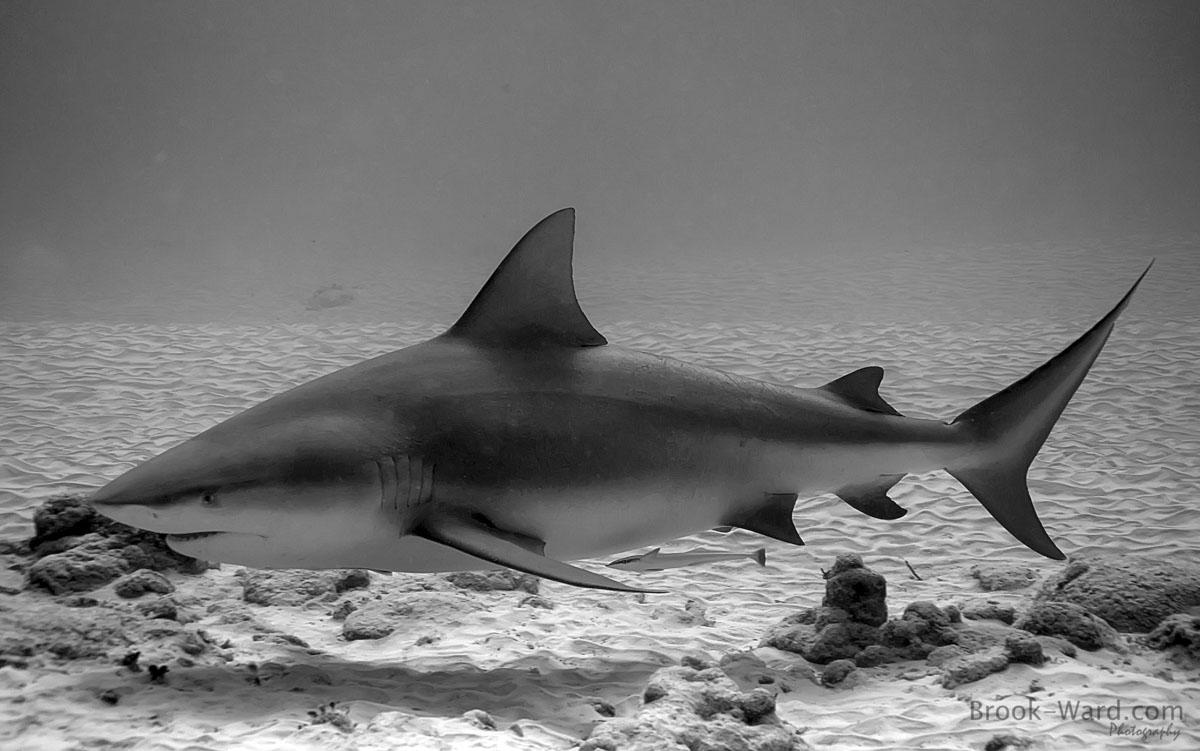 7 Bull Shark