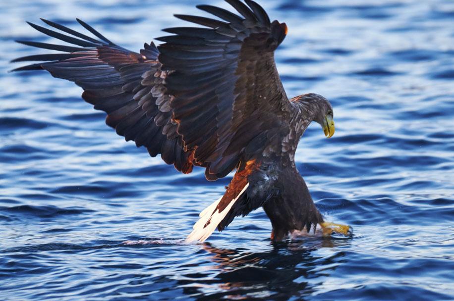 Eagle1ianrobins