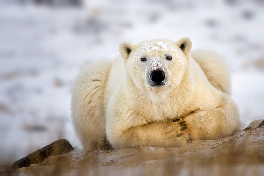 Polar Bear Taking A Break