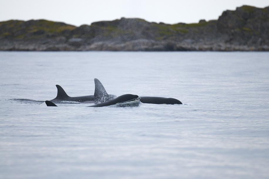 orcasianrobins