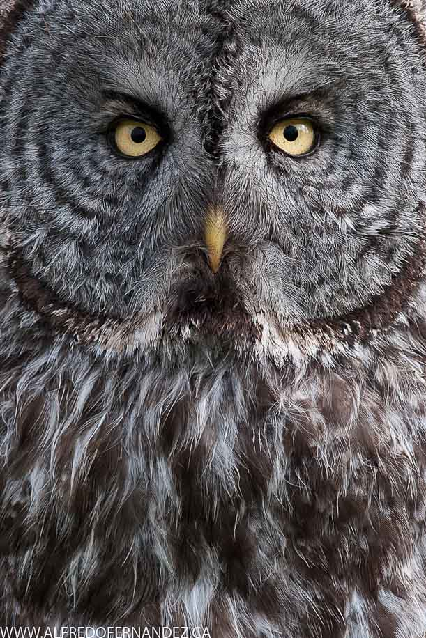 Great-Gray-Owl-British-Columbia