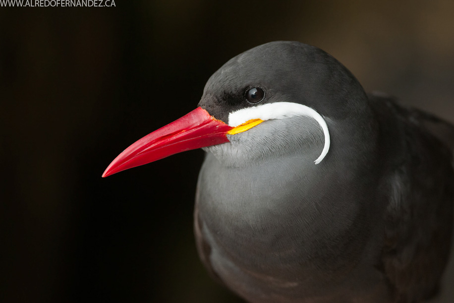 Inca-Tern-Lima-2