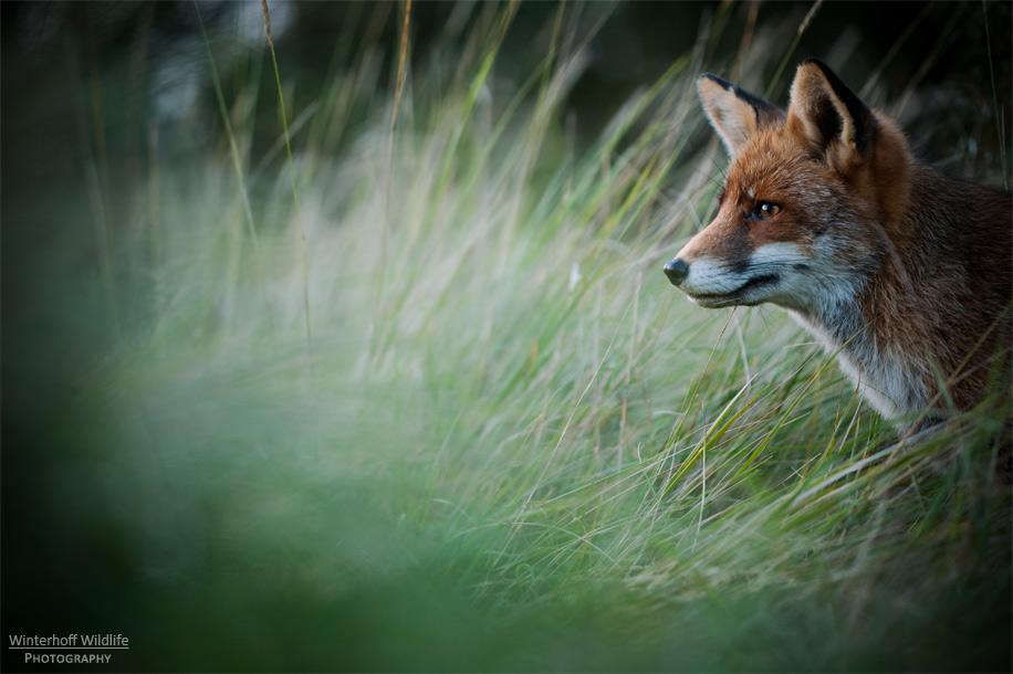 KW_Fox_005