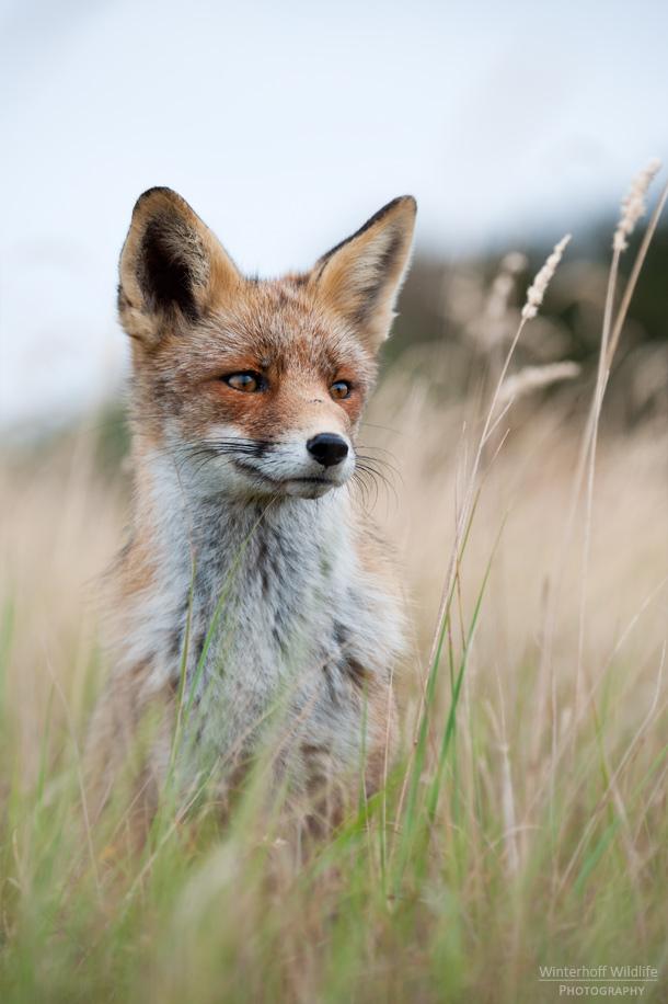 KW_Fox_007