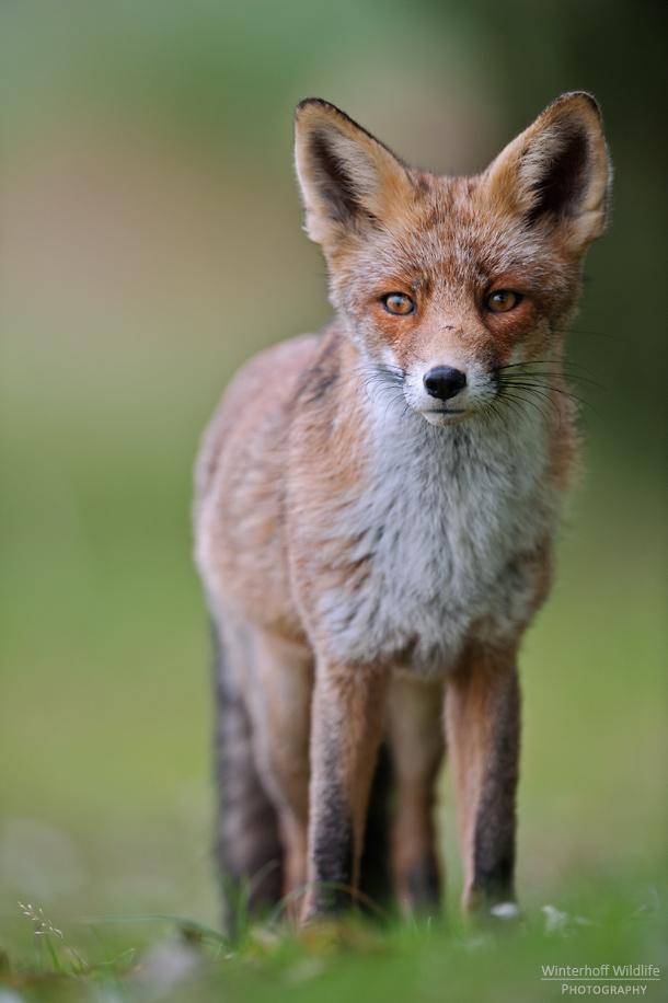 KW_Fox_008