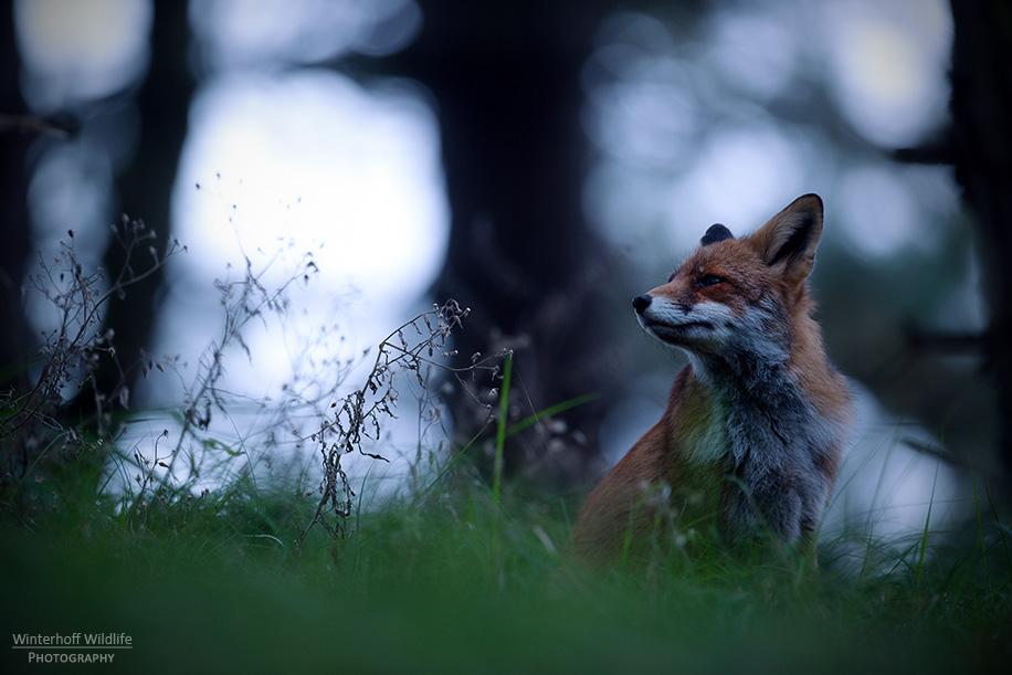 KW_Fox_011