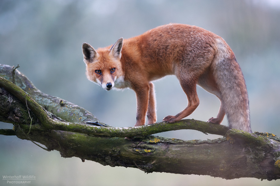 KW_Fox_013
