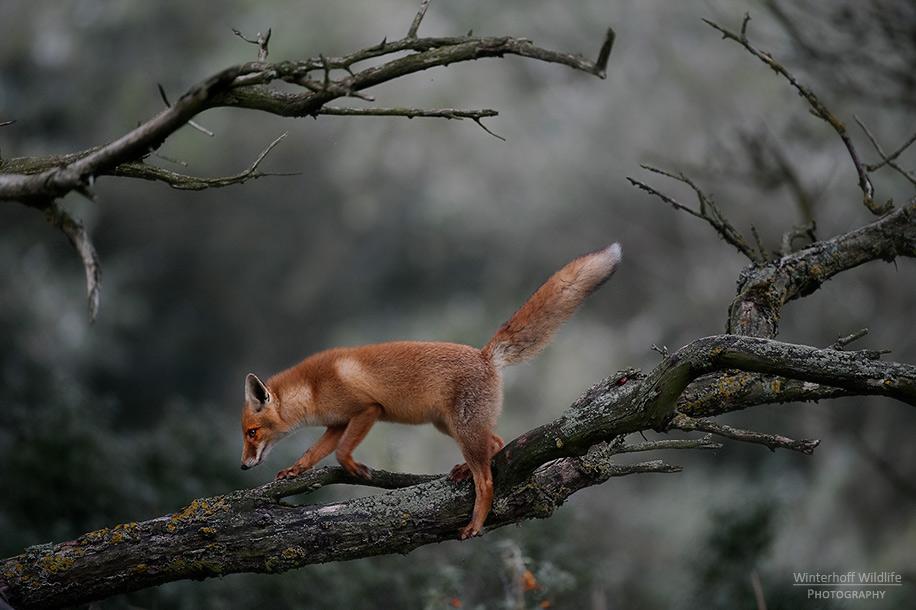 KW_Fox_015