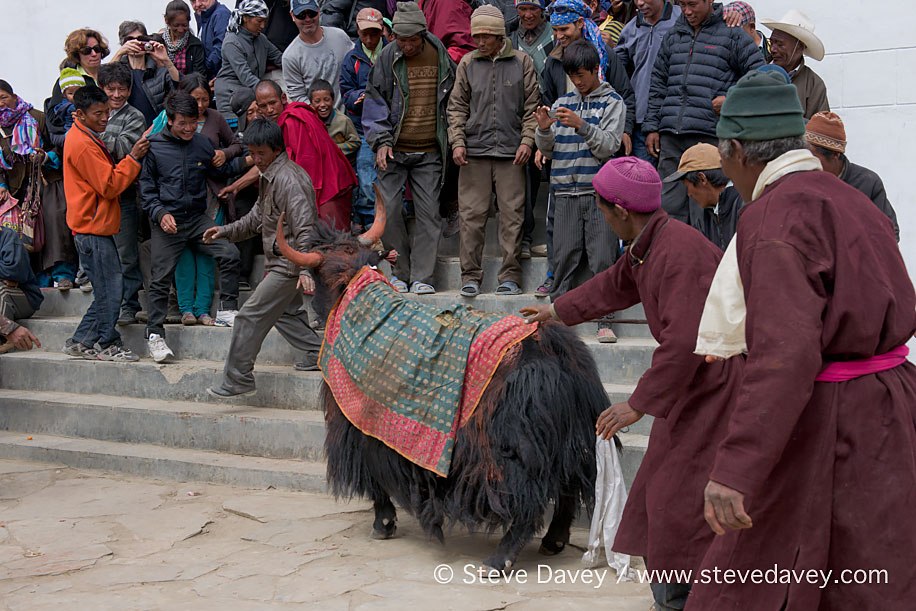 Changpa Nomad pilgrim running from the Monastery Yak, Korzok Gus