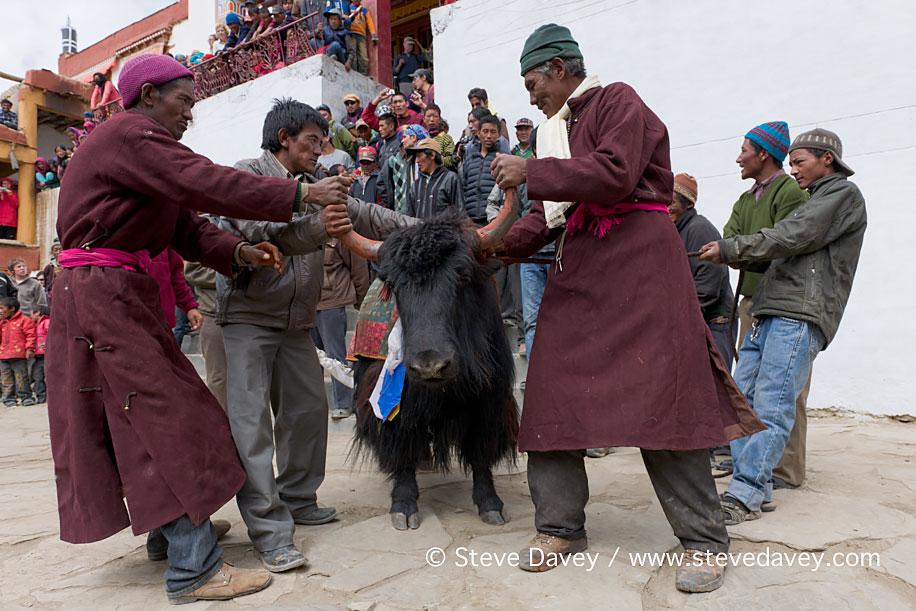 Restraining the monastery Yak, Korzok Gustor Festival, Tso Morir