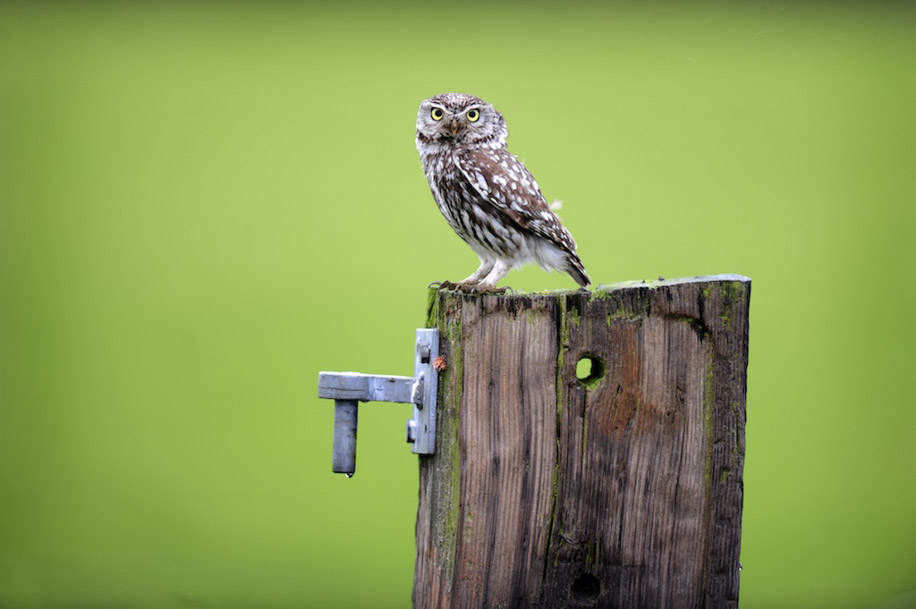 Little Owl On Post -  Animalicious Range