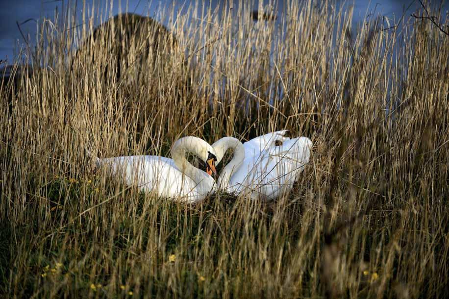 Loving Swans -  Animalicious Range