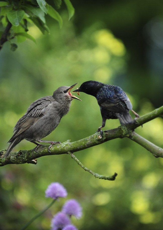 Supper With Starlings -  Animalicious Range - Springwatch competition winner