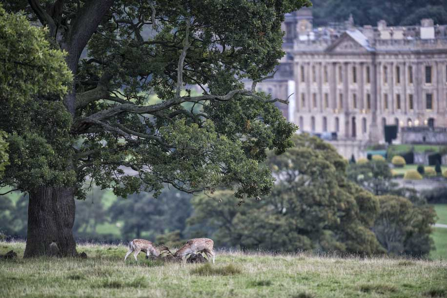 Deers At Chatsworth - Peaky Views Range