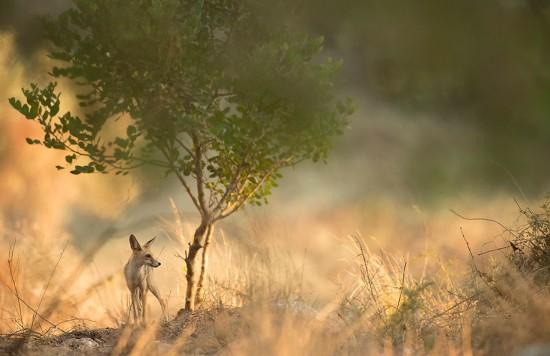 1_fox_and_tree