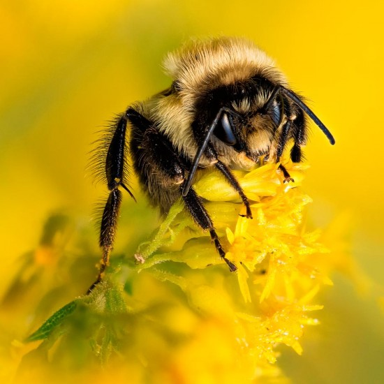 Bumble Bee (200mm FX)