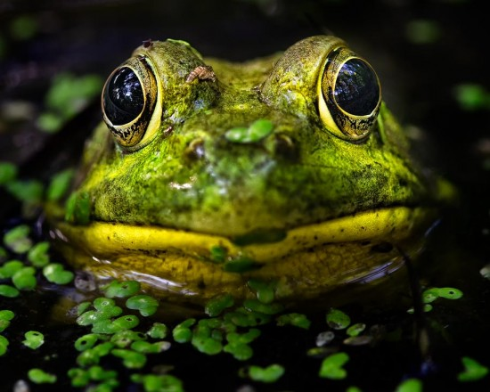 Eye To Eye With A Frog (200mm – DX)