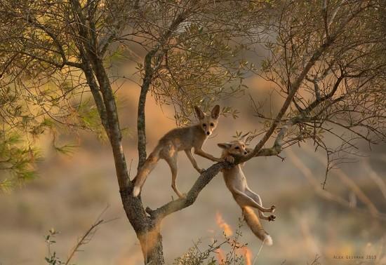 tree-fox