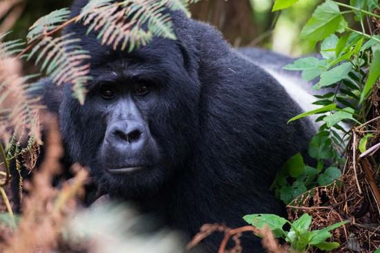 Kanungu, Uganda: Bwindi Impenetrable Forest