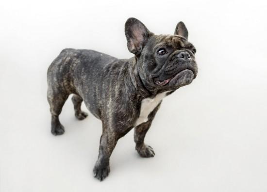 black_french_bulldog