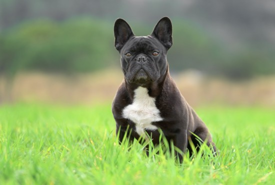 french_bulldog_outdoors