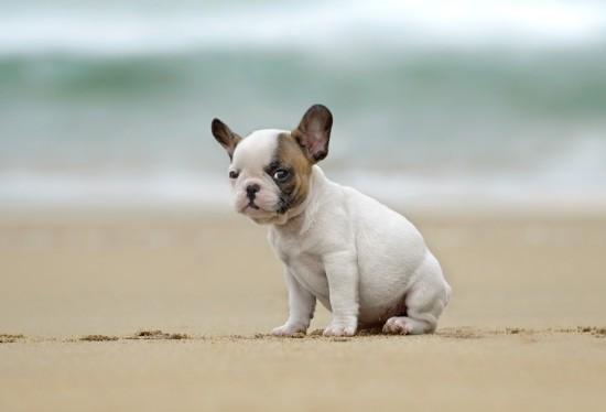 french_bulldog_puppy