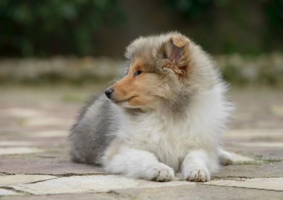 rough_collie_puppy