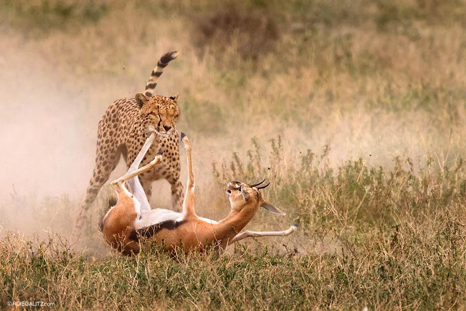 Cheetah Chase With The Nikon D810 Nikon Rumors