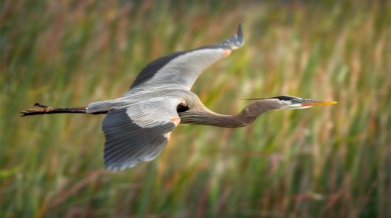heron-in-flight-steve-perry