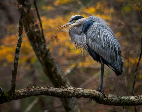 heron-in-tree-steve-perry