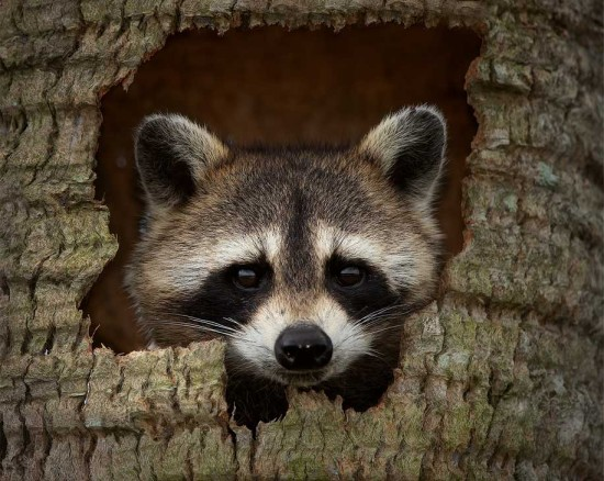 raccoon-hideout-steve-perry