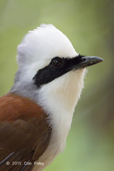 Laughingthrush_White-crested_D82_6123