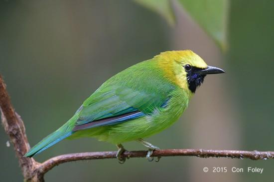 Leafbird_Blue-winged_male_D82_6380