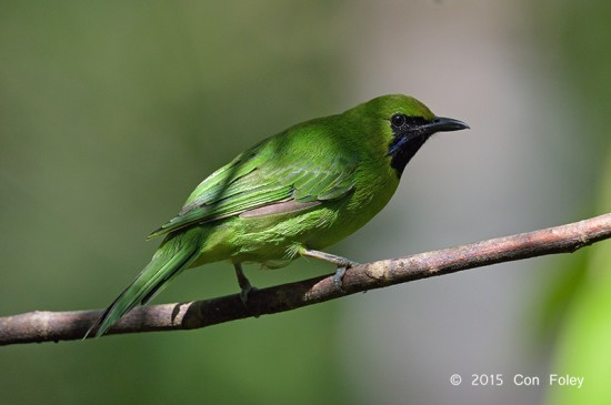 Leafbird_Greater-green_male_D82_6413