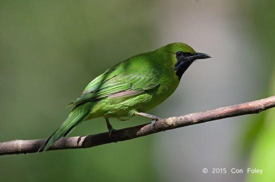 Leafbird_Greater-green_male_D82_6413