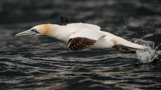Northern Gannet taking off – Nikon D4s, 500mm f/4E, 1/2500sec, f/6,3 @ ISO 400