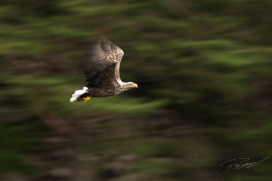 White-tailed Eagle panned against the forest background – Nikon D4s, 500mm f/4E, 1/40sec, f/6,3 @ ISO 50