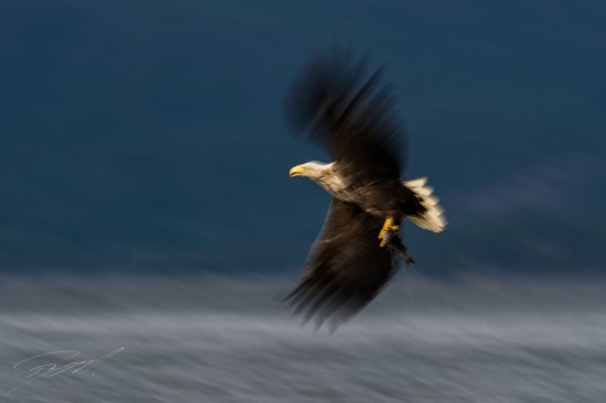 White-tailed Eagle panned while taking off with catch – Nikon D4s, 500mm f/4E, 1/30sec, f/13 @ ISO 50