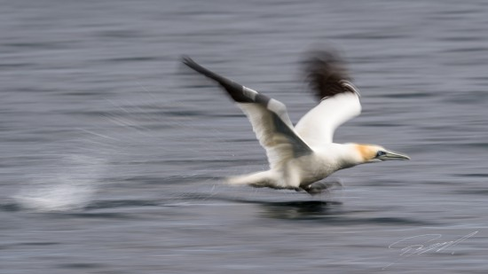 Northern Gannet panned at take-off – Nikon D4s, 500mm f/4E, 1/30sec, f/22 @ ISO 50