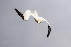 Diving Northern Gannet – Nikon D4s, 500mm f/4E, 1/3200 sec, f/6,3 @ ISO 400
