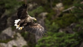 White-tailed Eagle against forest background – Nikon D4s, 500mm f/4E, 1/2000sec, f/5,6 @ ISO 1250